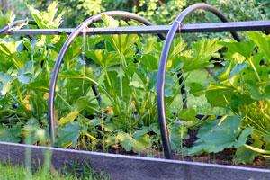 Mit einer Rankhilfe können Sie Platz sparen, wenn Sie Zucchini pflanzen