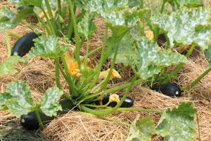 Stroh am Boden schützt Zucchini vor Nässe und Fäule