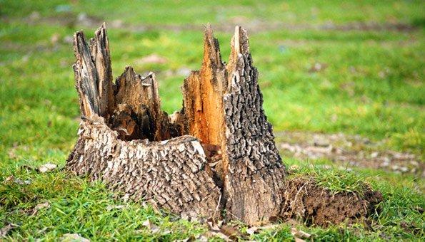 Baumstumpf Entfernen Am Besten Im Herbst Vor Dem Ersten Frost