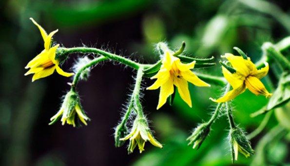 Blütenfäule Tomaten
