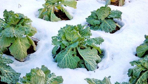 Winterfestes Gemüse: Jetzt Noch Ernten Und Geniessen Frische Salate Eigenen Garten Ernten