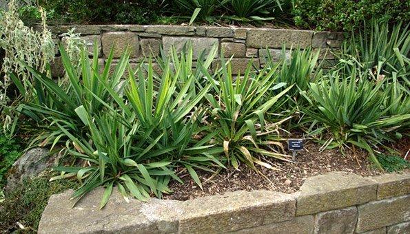 Yucca palmen pflegen so erhalten sie grosse gesunde pflanzen for Garten yucca ableger