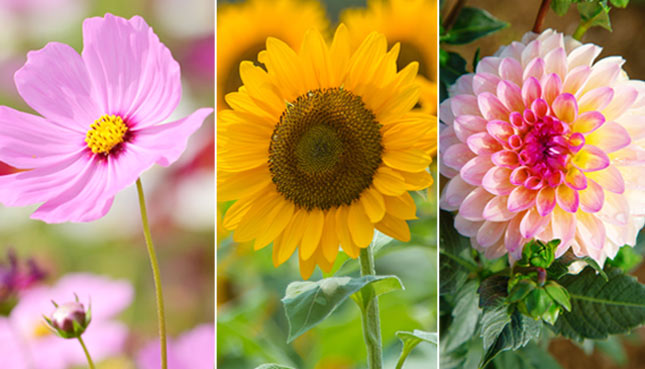12 fleurs d'été populaires et où et quand les semer