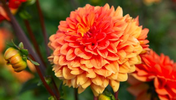 Les 12 plus belles fleurs d'été: Dahlia
