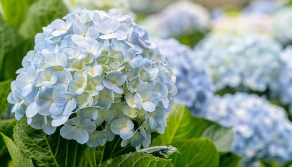 Les 12 plus belles fleurs d'été: Hortensia
