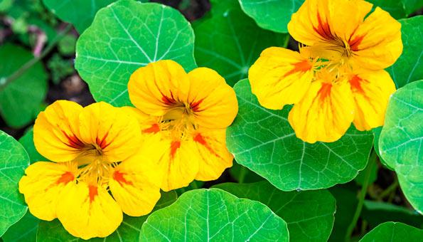Les 12 plus belles fleurs d'été: Capucine