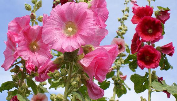Les 12 plus belles fleurs d'été: la mauve de Canne