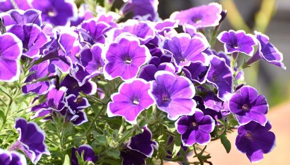 Les 12 plus belles fleurs d'été: Pétunia