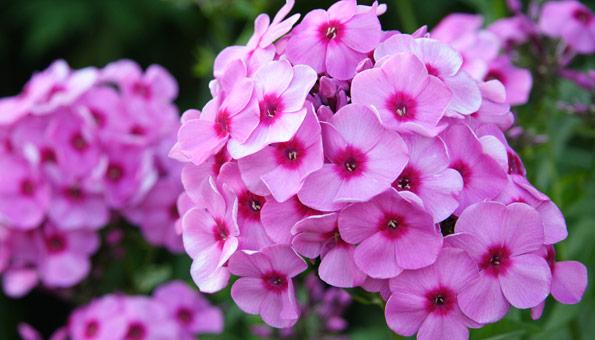 Les 12 plus belles fleurs d'été: Phlox