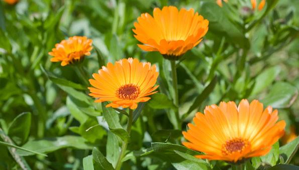 Les 12 plus belles fleurs d'été: Souci