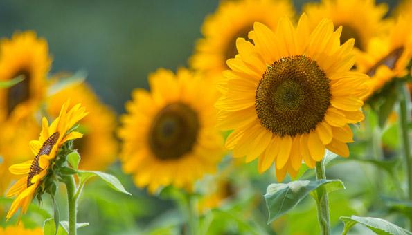 Les 12 plus belles fleurs d'été: Tournesol
