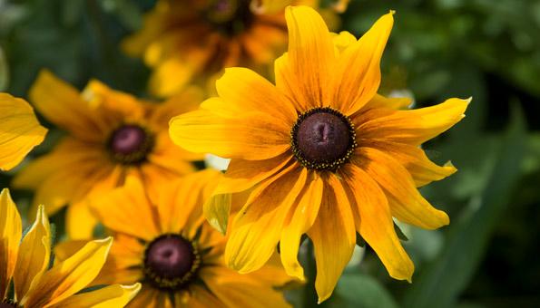 Les 12 plus belles fleurs d'été: le coneflower
