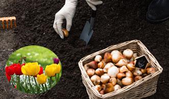 Rechtzeitig Tulpen im Garten und auf dem Balkon pflanzen