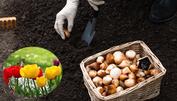 Tulpen setzen im eigenen Garten: So gelingt es