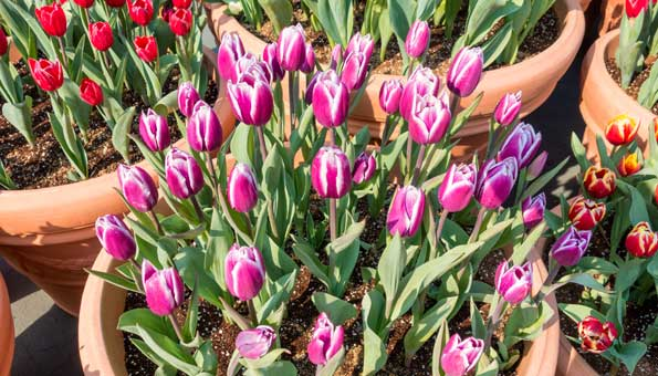 Tulpen pflanzen im Topf