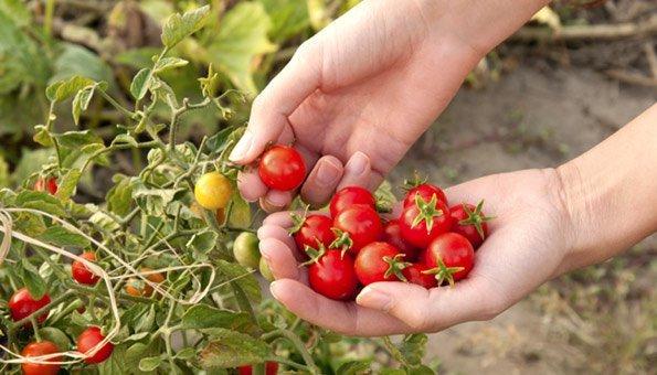 Tomaten Pflanzen Im Naturgarten