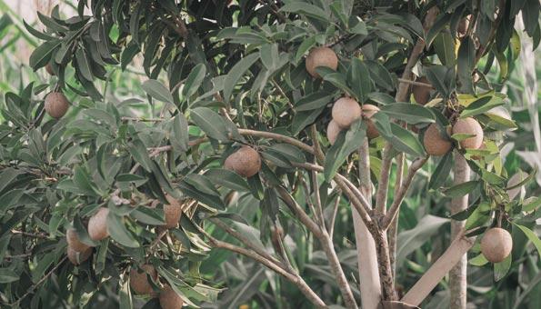 Der Breiapfelbaum wird auch Kaugummibaum genannt