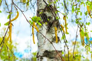 Besonders Birkenpollenallergiker leiden unter Kreuzallergien