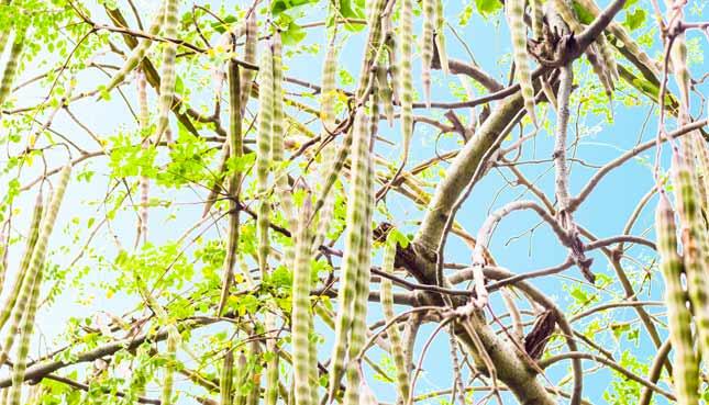 Moringa Baum mit Moringa-Früchten