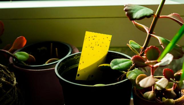 Gelbtafel in einer Zimmerpflanze