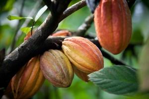 Kakaobutter wird aus den Bohnen der Kakaofrucht gewonnen