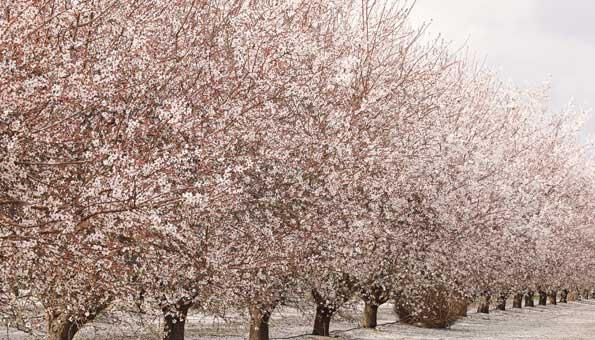 Mandeln werden meist in Monokulturen angepflanzt