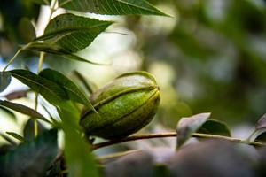 Die Sheafrucht zählt botanisch zu den Beeren