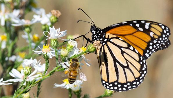 Biene und Schmetterling auf weisser Blume.