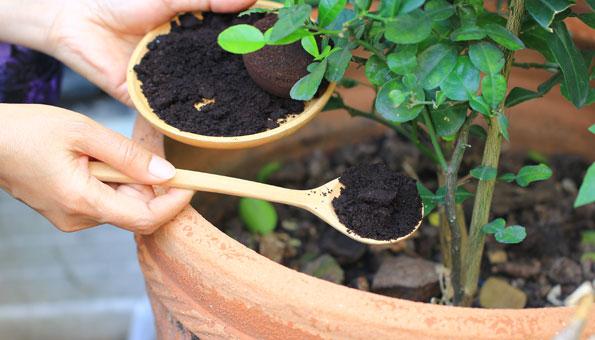 Topfpflanze düngen im Garten mit KAffeesatz