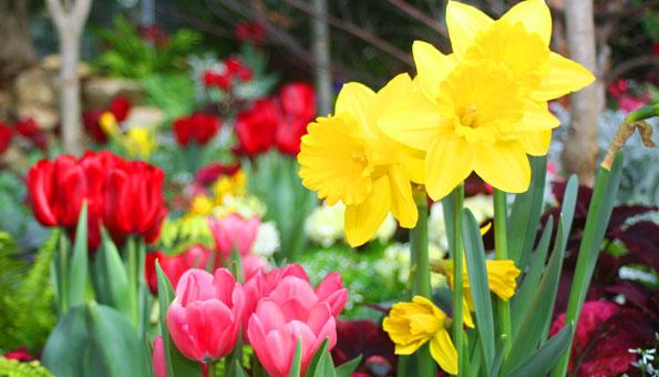 Blühende Frühlingsblumen Narzissen, Tulpen im Garten