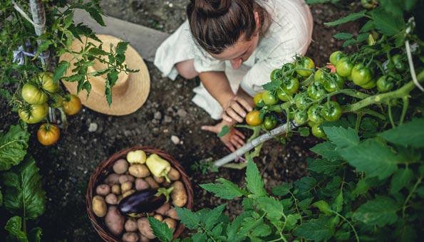 Frau erntet Gemüse aus eigenem Garten.