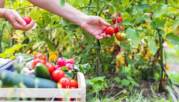 Reifes Gemüse ernten im Gemüsegarten