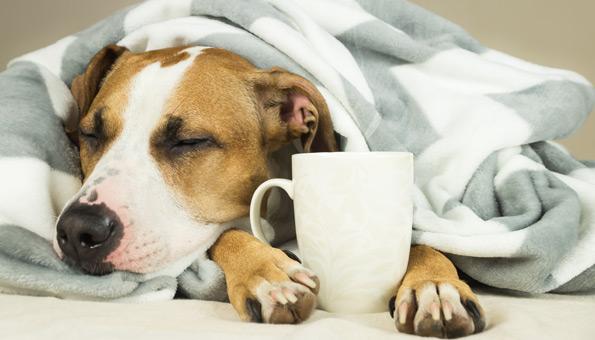 Hund unter Decke mit Teetasse.