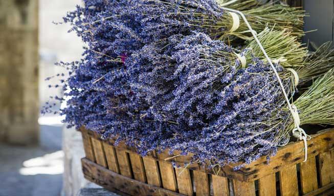 Lavendel frisch geschnitten für Verarbeitung zu Heilmittel und Salbe.