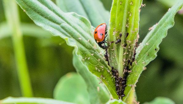 Marienkäfer gegen Blattläuse. Schädlinge im Garten.