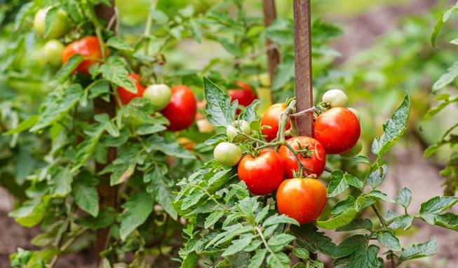 Tomaten richtig pflanzen und pflegen bringen eine reiche Ernte.