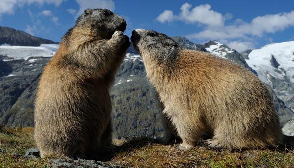 Zwei Murmeltiere in den Bergen