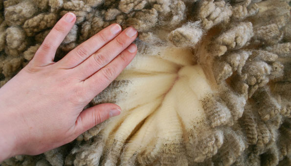 Merinoschafe haben besonders feine Wolle