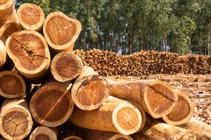 Lyocell und Tencel: Eukalyptus zur Produktion von Zellulose