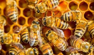 Ein Fünftel weniger Bienenvölker in diesem Jahr
