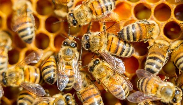 Bienenvölker Schweiz: Ein Fünftel hat den Winter nicht überlebt