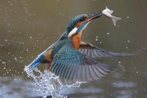 Der Eisvogel ernährt sich von Fischen und Insekten