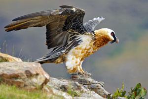 Bartgeier und weitere Greifvögel in der Schweiz