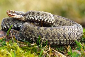 Die Kreuzotter gehört zur Familie der Viper-Arten