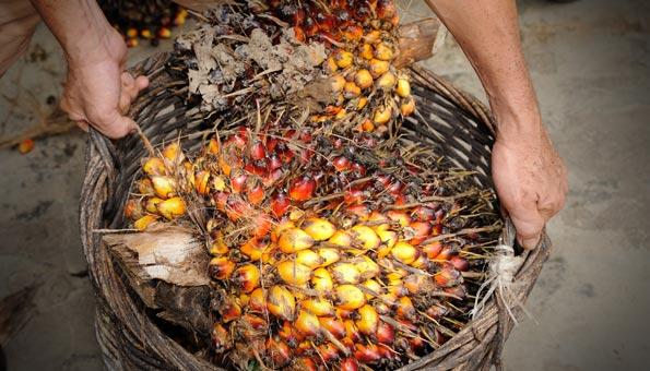 Geerntete Früchte einer Ölpalme