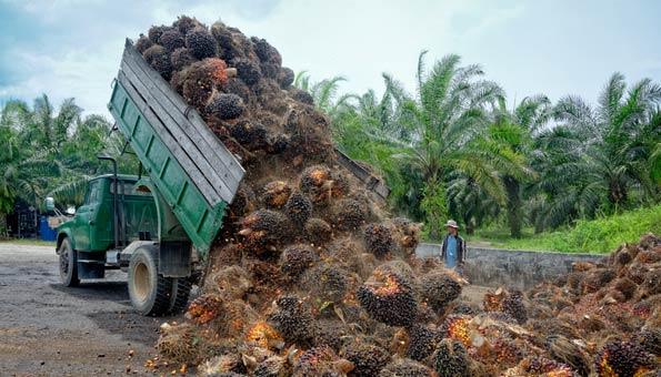 Ernte auf einer Palmölplantage