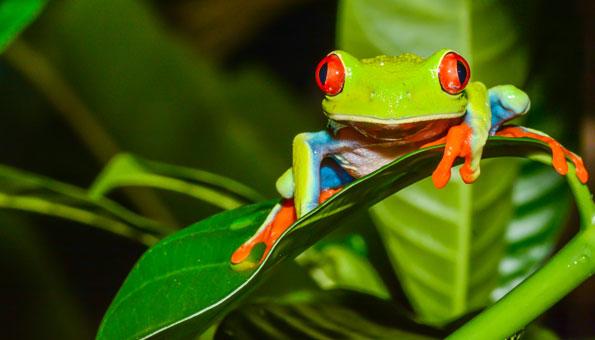 Rotaugenlaubfrosch als Symbol für bedrohte Artenvielfalt