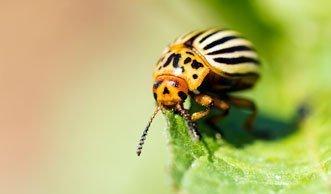 Freund oder Feind? Diese 12 Käferarten leben in der Schweiz
