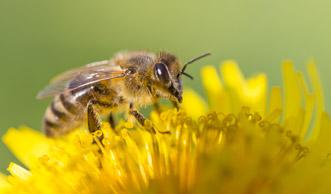 Glyphosat soll mitverantwortlich am Bienensterben sein