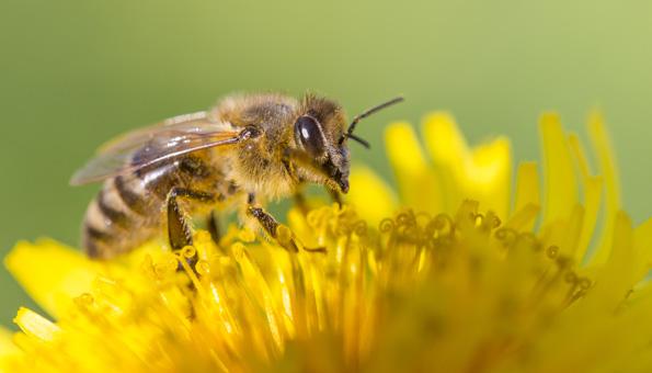 Glyphosat soll mitverantwortlich für Bienensterben sein